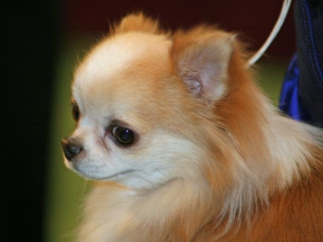Miniature Chihuahuas The Smallest Of The Small Dogs