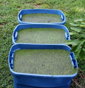 DIY growing duck weed tips and tricks.