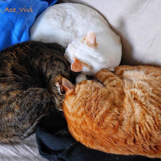 レオ:今日は、、3色パンを売るニャ😼 人:ずいぶん大きいですね😳 レオ:中身には、白あん、チョコ、クリームにゃ😽 人:魂込めて、、というより体張りますね。 * * レオ店長が無理矢理なパンでオープンしました😳お付き合いありがとうございました。 * * #クリームパン祭  #保護猫 #rescuecat #instacat #cat #catsofinstagram  #bns_cats #7catdays #愛猫 #猫 #ねこ #にゃんだふるらいふ #にゃんすたぐらむ #ねこ部 #にゃんこ #ペコねこ部 #子猫 #gattidiinstagram #chat  #みんねこ #котенок #gatosdeinstagram #picneco #고양이그램 #caturday #Katze #catstocker #猫のいる暮らし #ねこ団子