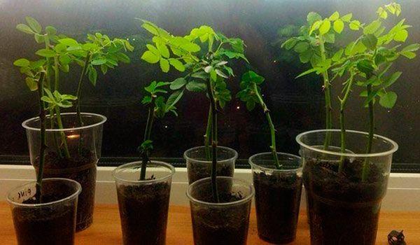 Уникальный и в то же время простой способ размножения роз черенками!