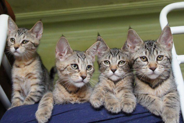 Pixie Bob kittens... WANT.