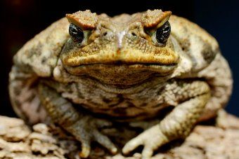Stopping cane toads in their tracks [podcast]. RN Drive, 13 Dec 2012