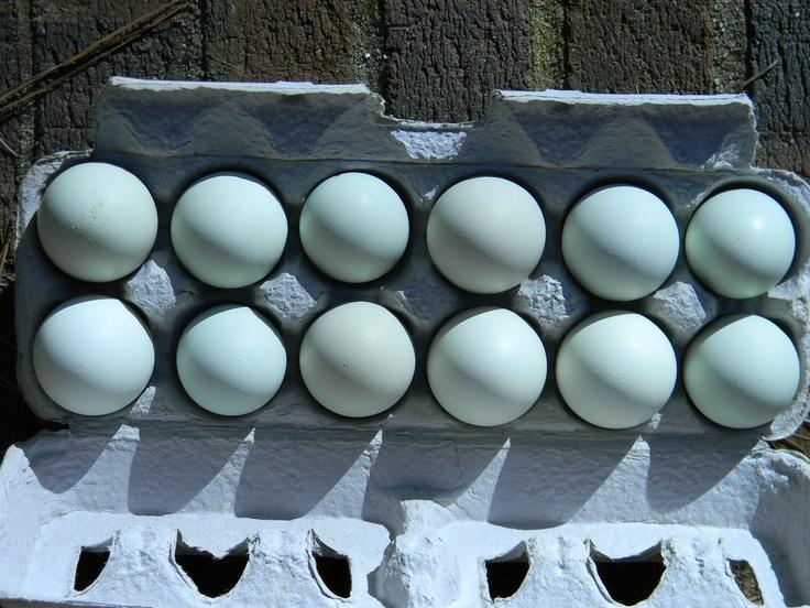 Ameraucana chicken eggsBackyards Chicken, Ameraucana Chicken, Backyards Farmers, Blue Eggs, Chicken Blue, Chicken Chicks, Chicken Someday, Chicken Happy, Chicken Eggs