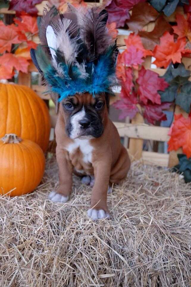 Boxer puppy from walker run boxers #thanksgiving #indian #feathers
