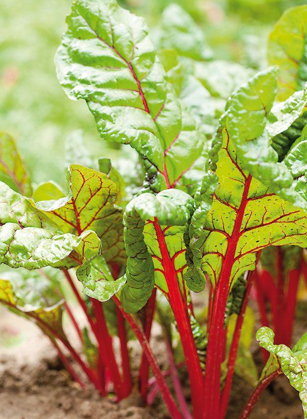 Okrasná zeleninová záhrada