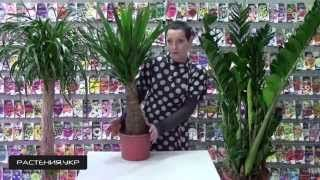 Комнатное растение ЮККА МАЙЯ гигант в домашних условиях / Houseplant Yucca MAYA home