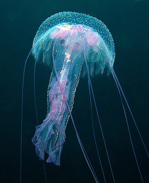 1000+ images about Jellyfish on Pinterest | The jellies ...