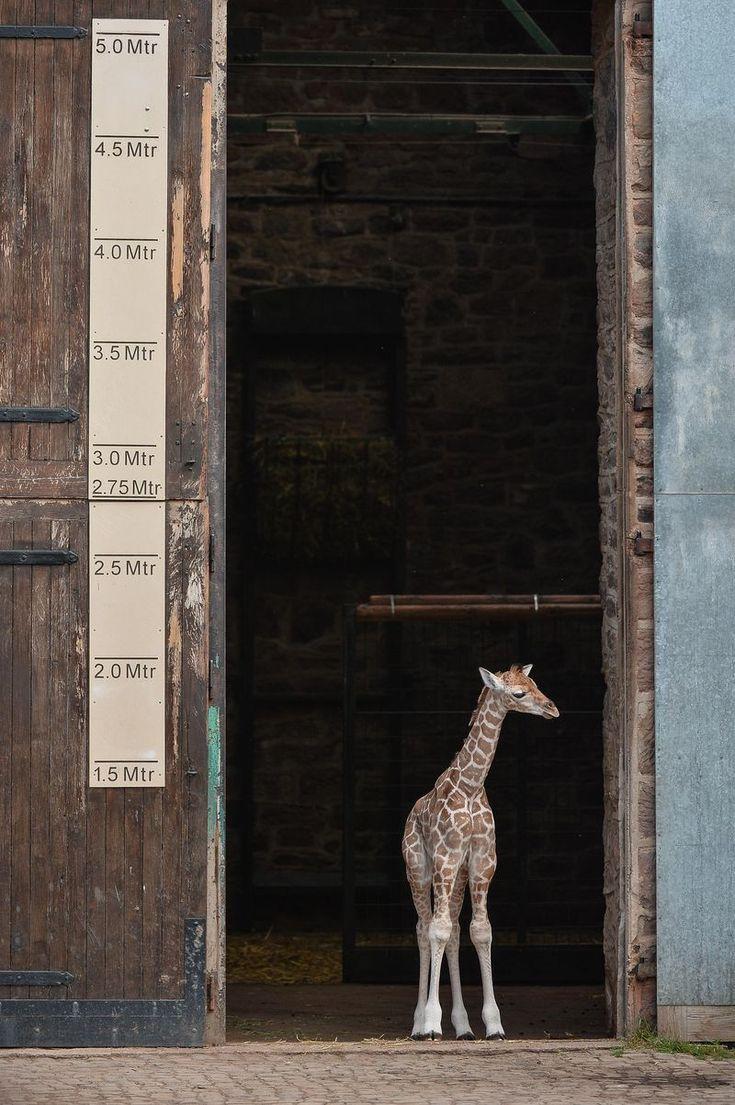 Sanyu the Giraffe calf, a rare Rothschild's Giraffe  (Giraffa camelopardalis rothschildi) at five days old,