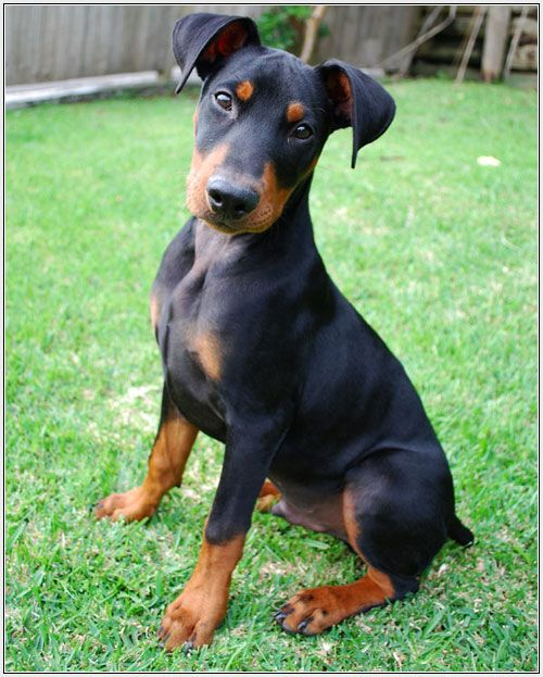 German Pinscher Puppie... I do believe we've found out what our next four legged kid will be!