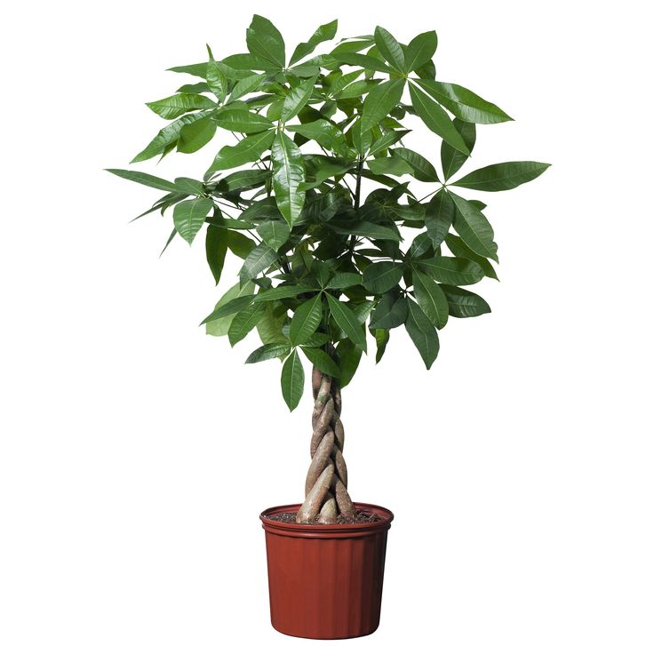 Pachira aquatica low maintenance indoor plants indoor for Low maintenance indoor plants