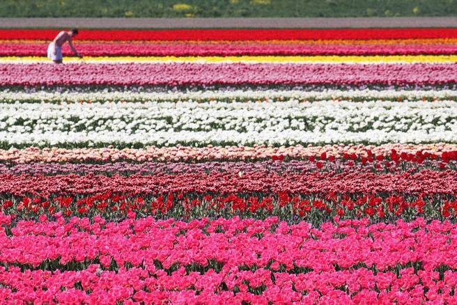 Dutch tulip field in bloom