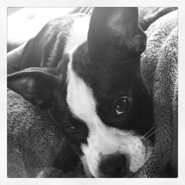 what does a boston terrier look like this is what our luna looks like boston terrier mix 1077