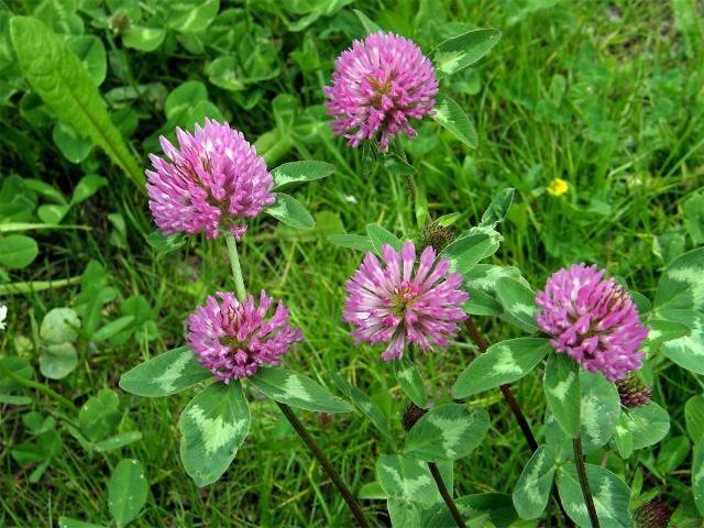 Název: Jetel Luční Latin. název: Trifolium pratense Čeleď: bobovité Latin. čeleď: Fabaceae