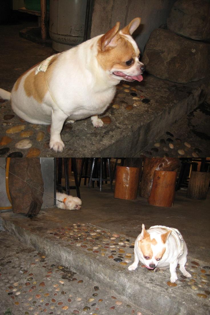 Fantastic Korea Chubby Adorable Dog - 8cf7366e7dc38073e95b314d8fdd8bcb--taiwan-fat  HD_9410053  .jpg