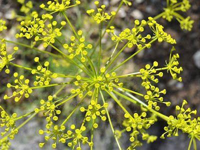 Plantas: Beleza e Diversidade: Ferulago capillaris
