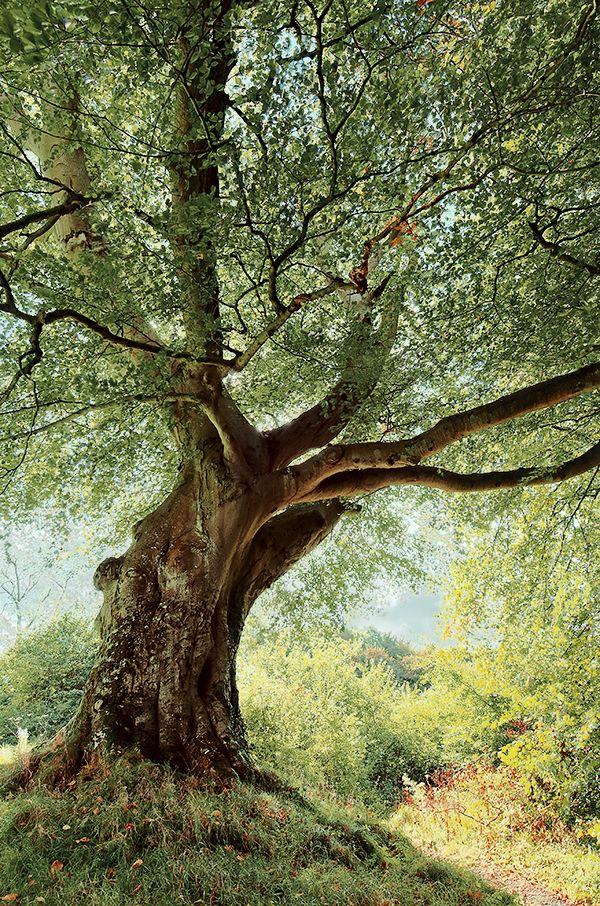 naturespiritheart: Belvoir Tree, Autumn Morning by…