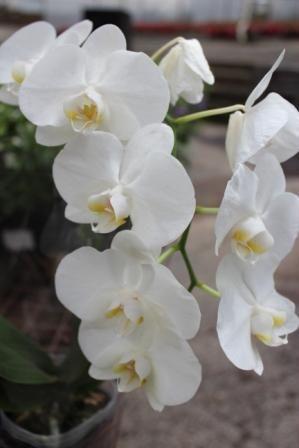 Elegant white Phalaenopsis Orchids! long lasting flowers! www.summerhillnurseries.com.au