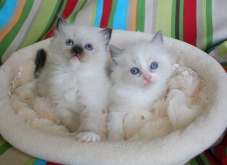 Ragdoll cats for sale birmingham al
