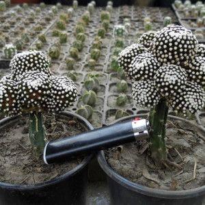 CulturCactus - магазин кактусов и суккулентов в Украине