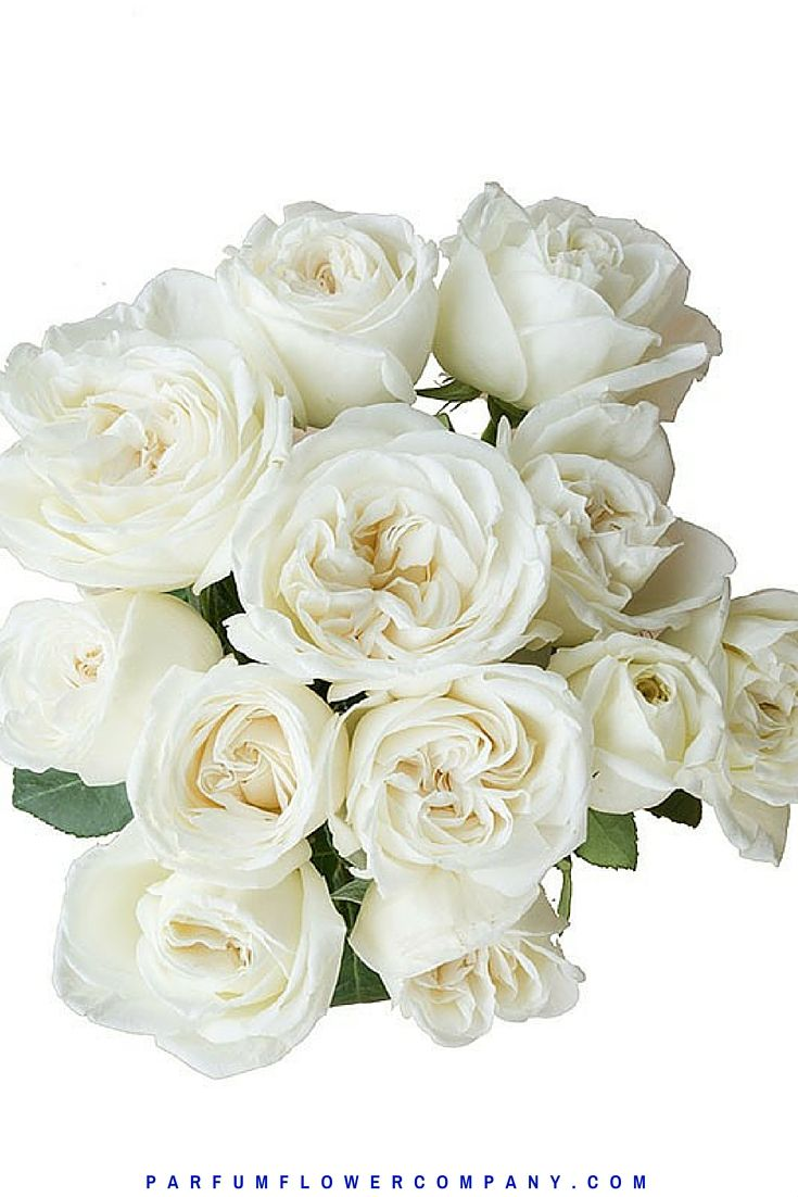 Жанна Моро Роуз, также известный как Белый Perfumella розы.  Meilland Jardin и др Парфюмированная коллекция 011