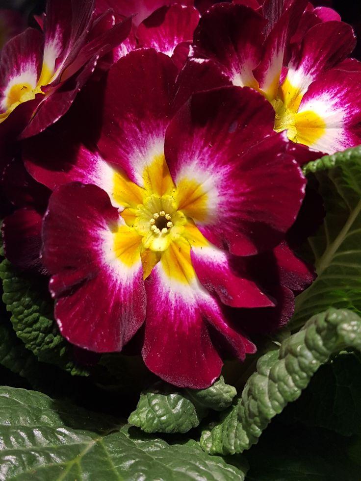 Primula-«Den første om våren» i alle regnbuens farger