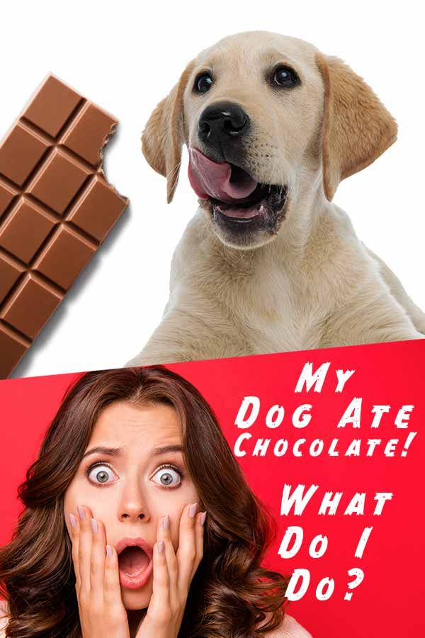Dog Ate Chocolate Symptoms Toxicity And What You Should Do