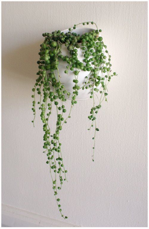 String of Pearls (Senecio rowleyanus) Trails 2-3 ft. Bright light with some direct sun. Water thoroughly, then allow to dry out slightly between waterings: will not tolerate soggy soil. Use cactus potting mix (3 parts good quality potting soil, 1 part sharp sand). Feed once/month spring through fall with a balanced liquid fertilizer diluted by half. In winter, water  just enough to prevent soil from drying out.  Warm temps spring thru fall (70-80°F), cool temps winter (55-60°F)  #houseplant…