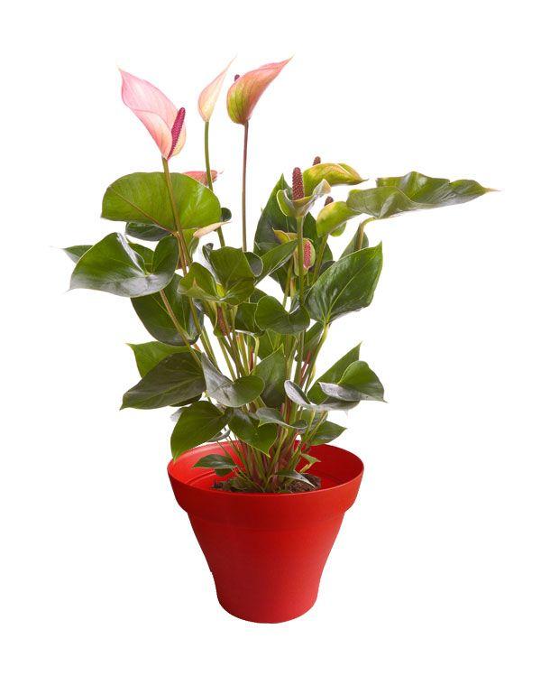 Les 89 meilleures images du tableau plantes d 39 int rieur for Meilleur plante interieur
