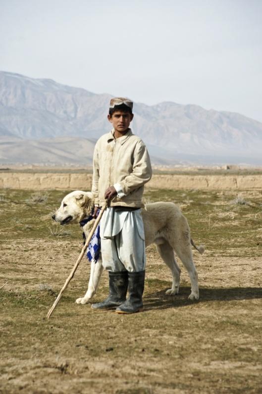 Afghan Shepherd: 39 Best Alabai Images On Pinterest