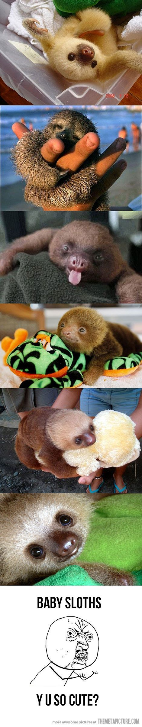 Baby sloths - i could do without the y u   no guy but they're still too adorable to pass up.