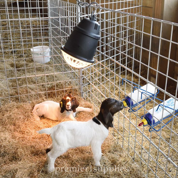 Prima Heat Lamp Goats Goats Goat Farming Dog Food