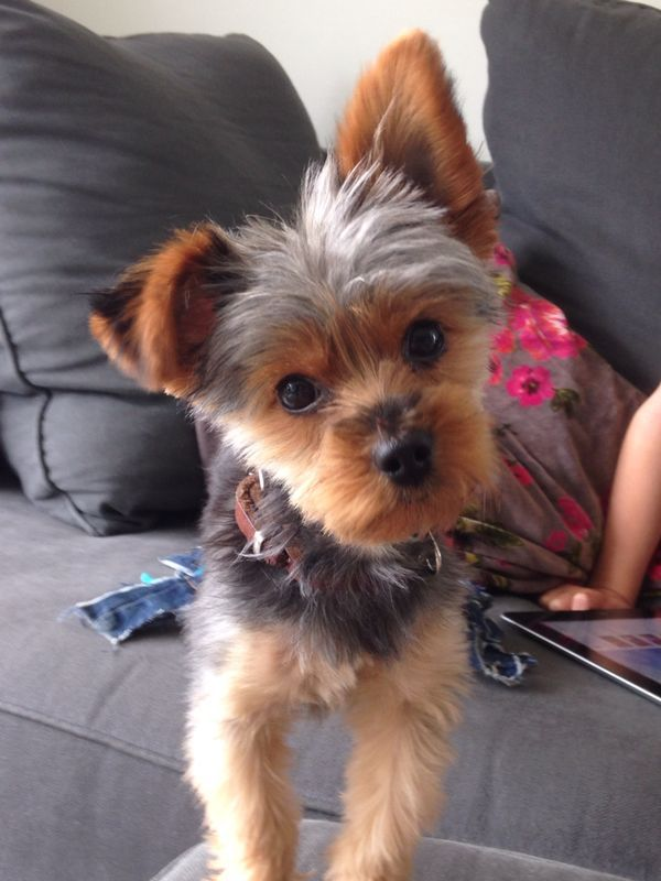 Yorkie Charlie Quot What You Re Doing Quot All About Yorkies ᴥ Pinterest Yorkies