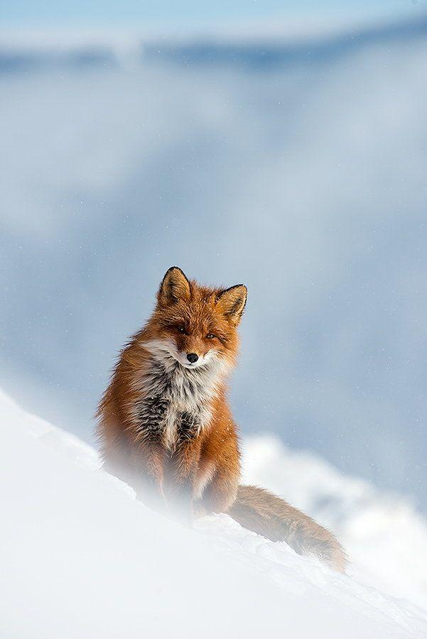 Ivan Kislov, un ingénieur mineur russe, prend des superbes photos de renards pendant son temps libre - Image