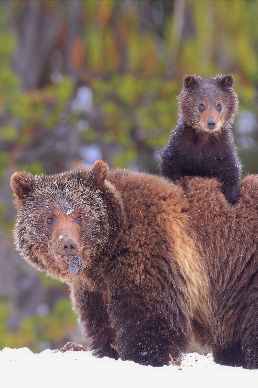 Baby Grizzly Bear Cubs