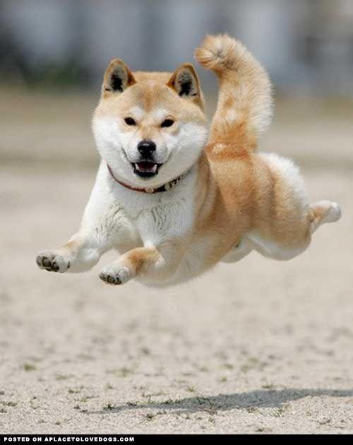 Shiba Inu Flying •