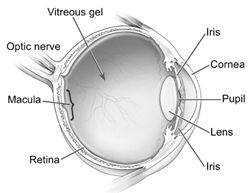 Cross section of an eye