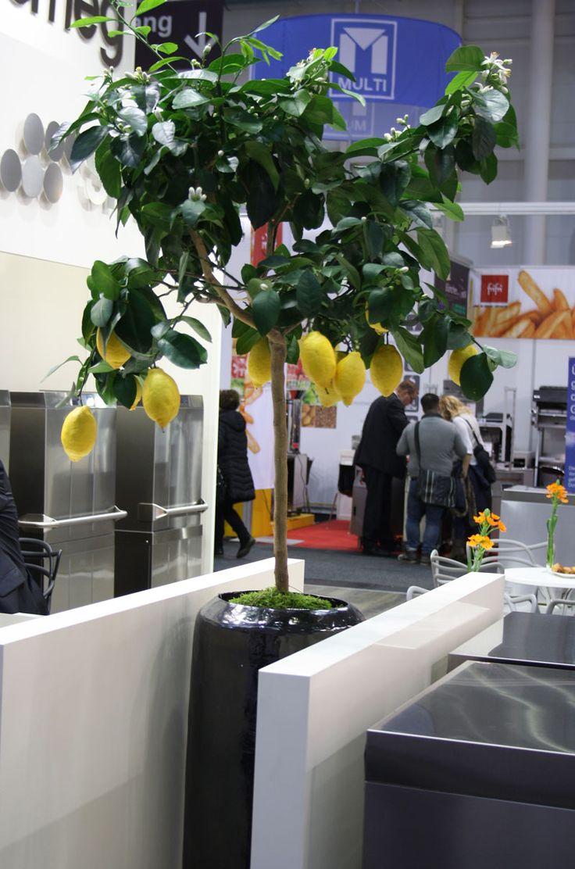 Zitrusbaum - citrus, decoration fair Hamburg
