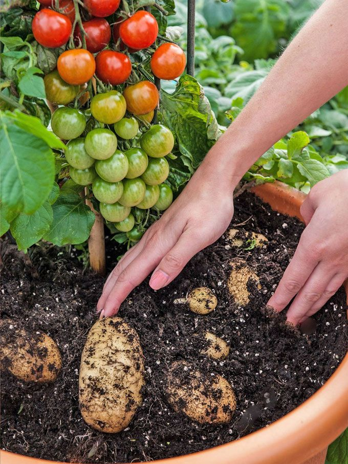 TomTato: plant grafted with cherry tomatoes AND white potatoes... available in UK