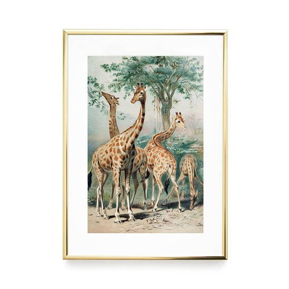 Giraffes Vintage Prints Framed Illustrations Antique Print Etsy Antique Illustration Antique Prints Vintage Prints