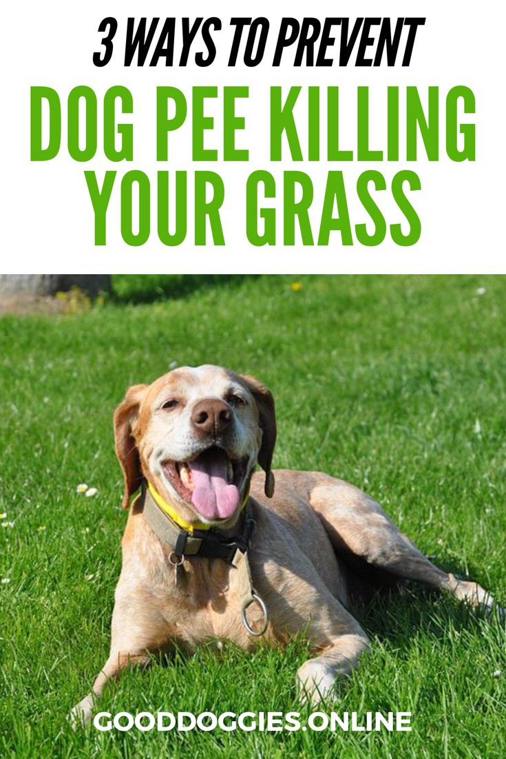 Protect and fix your lawn from dog pee killing grass with these 3 quick and easy tips on how to your yard and keep your dog happy.