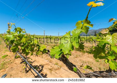 http://www.shutterstock.com/pic-245181982 Constantia Grape Wineland Countryside Landscape Background Of Hills With Mountain Backdrop In Cape Town South Africa Stock Photo 245181982 : Shutterstock