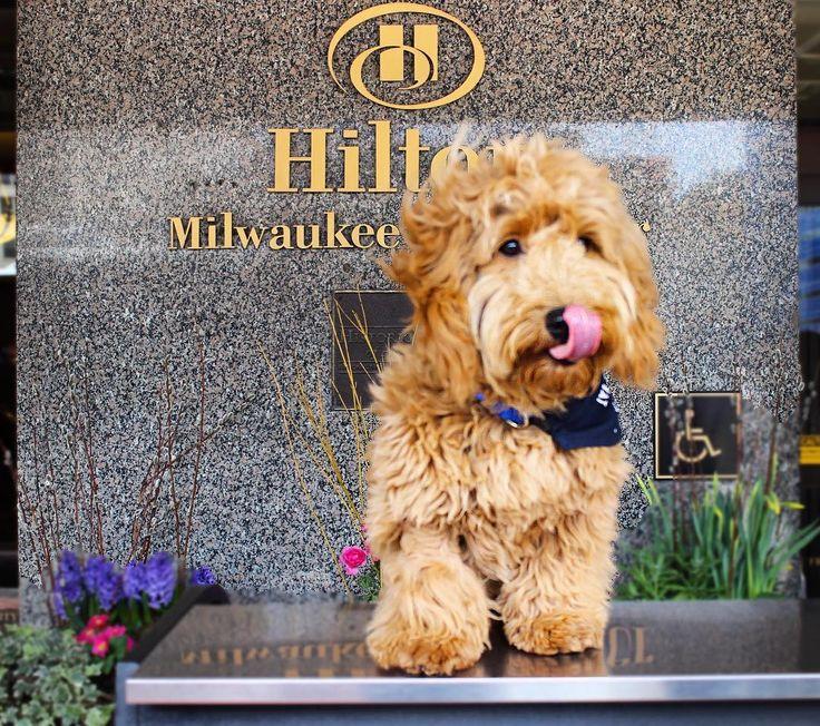 Meet Millie the Goldendoodle, the cutest concierge to ever grace a front desk | Travel + Leisure