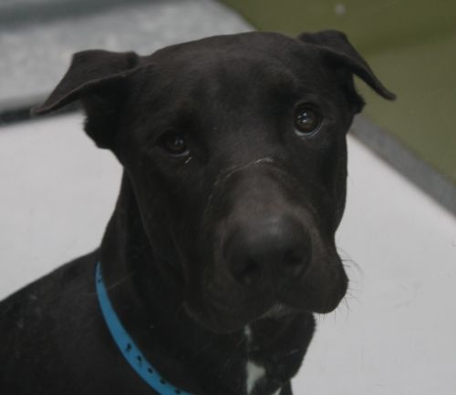 LUCAS-ID#A668490    My name is LUCAS.    I am a male, black and white Doberman Pinscher mix.    The shelter staff think I am about 8 months old.    I have been at the shelter since Aug 24, 2012.