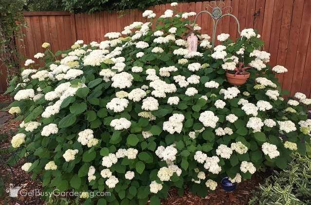 Hydrangea shrubs for partial shade