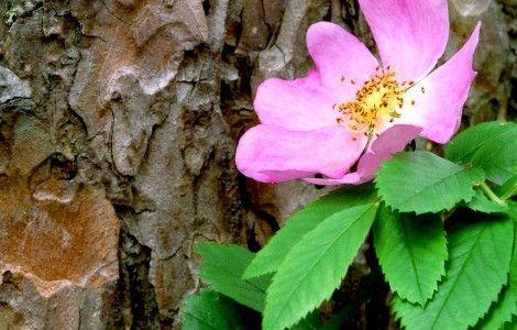Wild Rose Flower Wallpaper