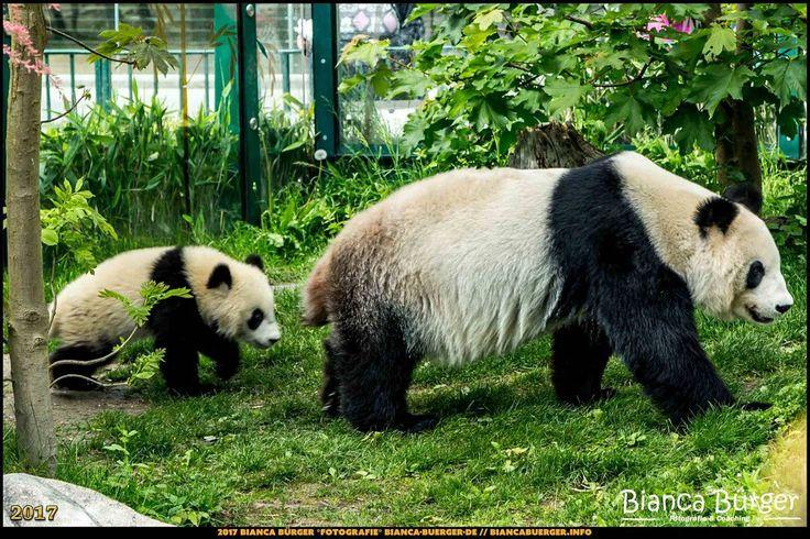 Tiergarten Schönbrunn - Panda-Jungtier mit Mutter - Wien-Spezial #Wien #Vienna #wonderlustvienna #vienna_austria #ViennaNow #Österreich #Austria #ig_austria #feelaustria #visitaustria #zoovienna #zoo #Tiergarten #schönbrunn #biancabuergerphotography #shootcamp #pickmotion #Reise #travel #animal #Tier #Panda #giantpanda #canon #EOS5DMarkIII #5Diii #cute #lovely
