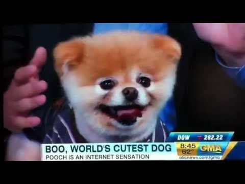 Boo the Pomeranian Dog on Good Morning America Worlds cutest dog!
