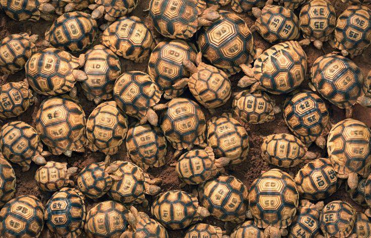 Un impresionante repaso fotográfico a las especies de animales que están cerca de desaparecer tortugas radiadas de Madagascar