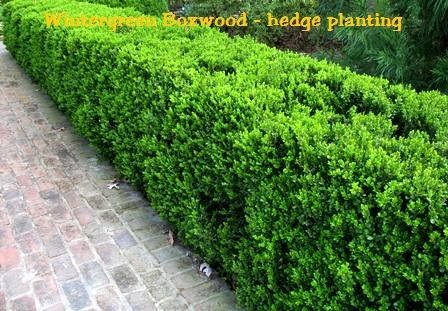 Wintergreen Boxwood for use in front around pavers