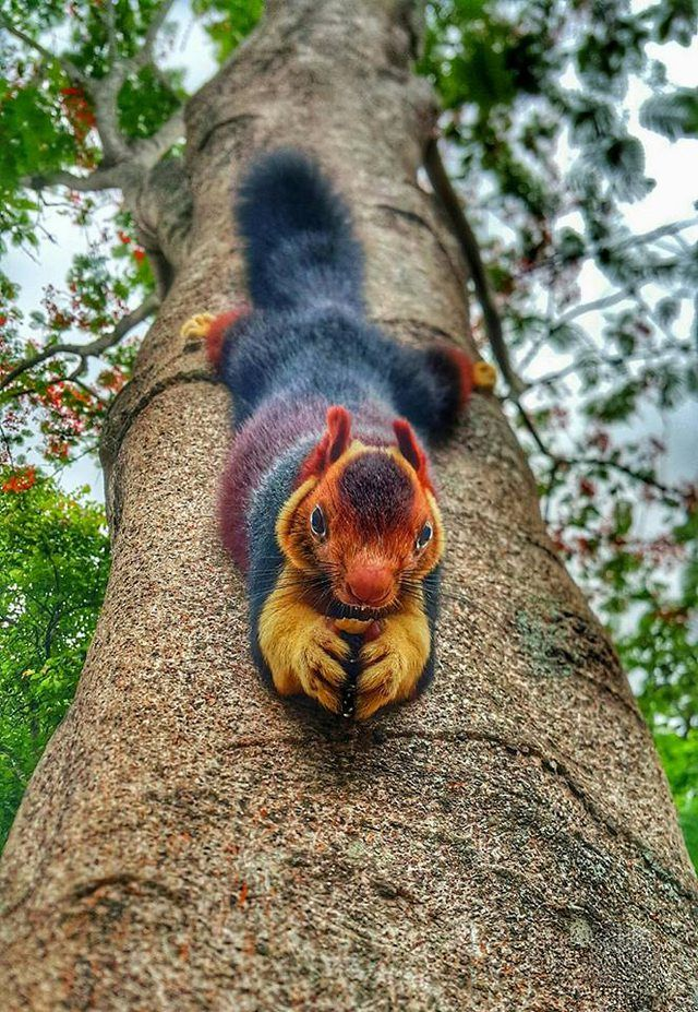 Now that is an impressive looking squirrel - Indian Giant Squirrel. I love the red/yellow/orange/black coloring.